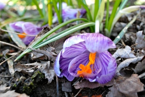 crocuses peeking out, the first of the season.